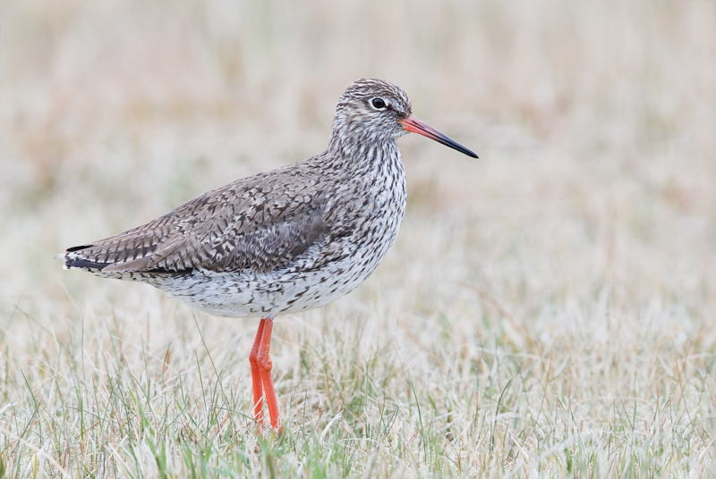 common-redshank-ps-by-denise-_q8r9391-texel-holland