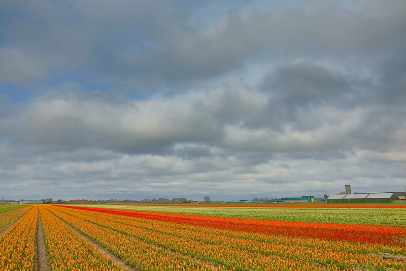 flower-field-hdr-_a1c1398-lisse-holland