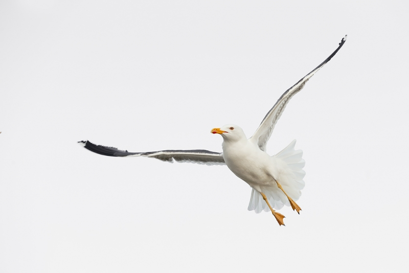 lesser-black-backed-gull-in-flight-_q8r1717-texel-holland