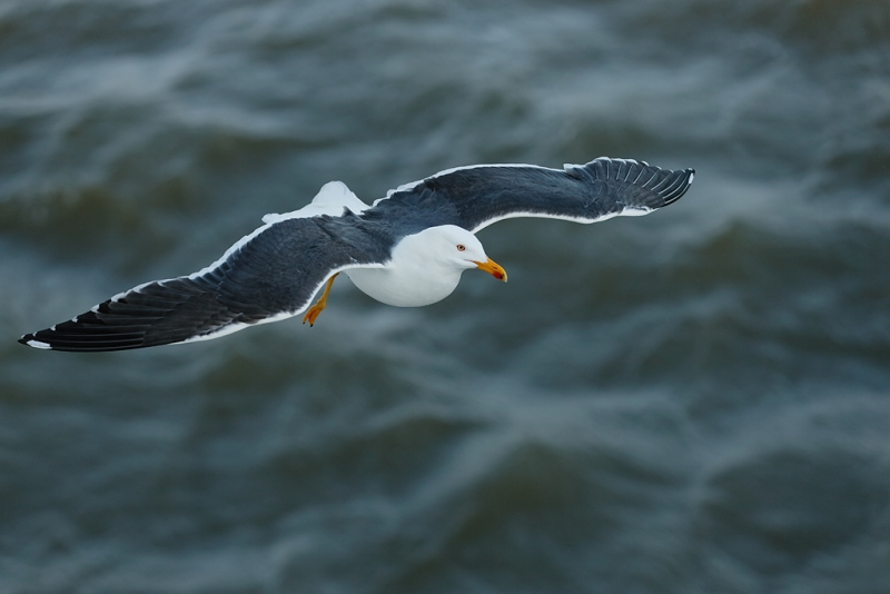 lesser-black-backed-gull-top-shot-flight-_q8r1757-texel-holland