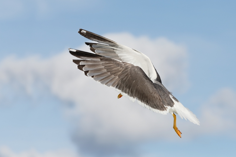 lesser-black-backed-gull-wings-forward-flight-_q8r0343-texel-holland
