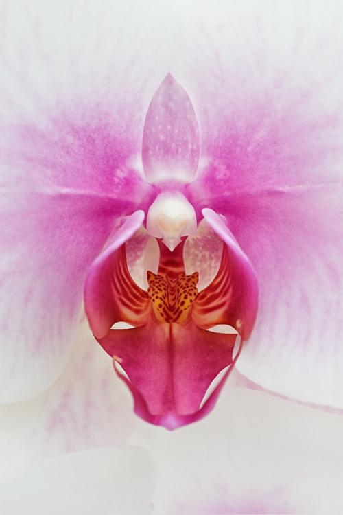 orchid-sion-50-50-nik-_a1c9455-keukenhof-gardens-lisse-holland