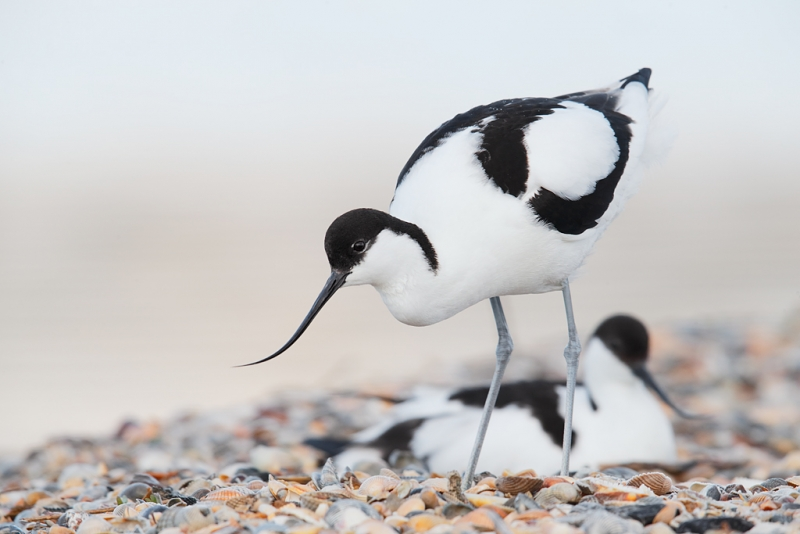 pied-avocet-w-mate-on-nest-in-bkgr-_q8r0693-texel-holland
