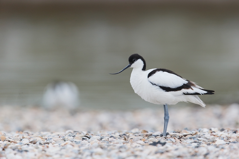 pied-avocet-with-another-in-bkgr-_09u0472-texel-holland