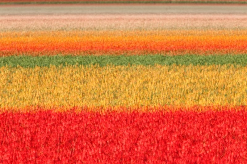 tulip-field-multi-exp-_a1c8808-lisse-holland