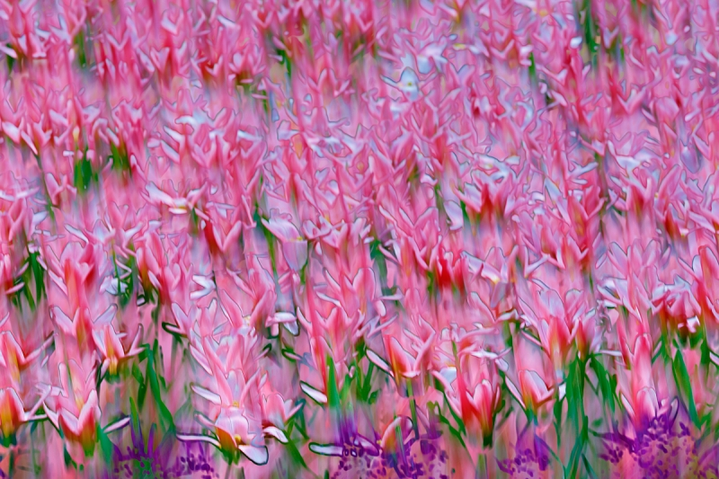 tulip-flower-blur-_a1c1660-keukenhof-gardens-lisse-holland