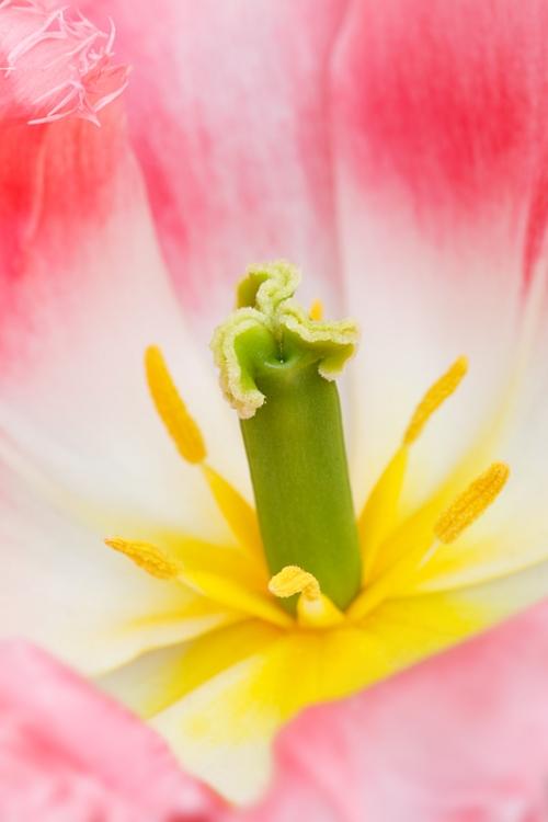 tulip-lingerie-_a1c9227-keukenhof-gardens-lisse-holland