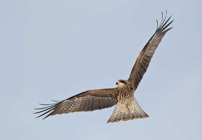 black-eared-kite-kiting-_90z8096-akan-crane-center-hokkaido-japan