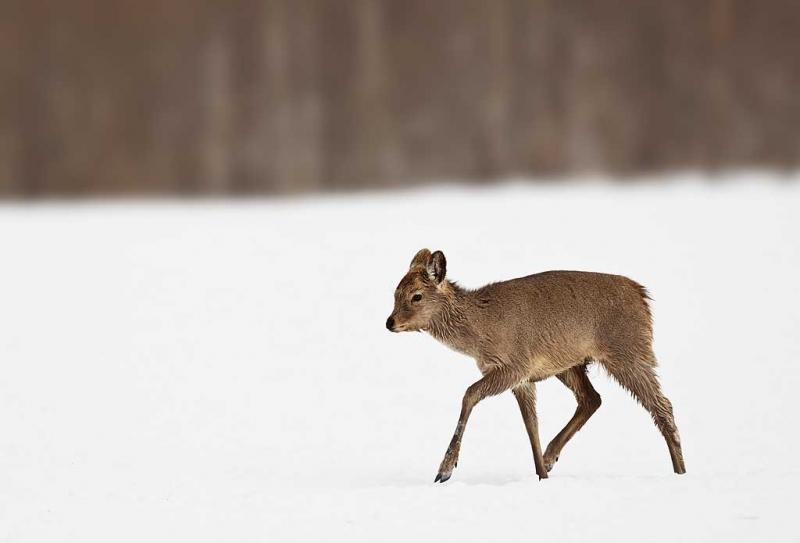 deer-in-snow-cropped-y9c8523-akan-crane-center-hokkaido-japan