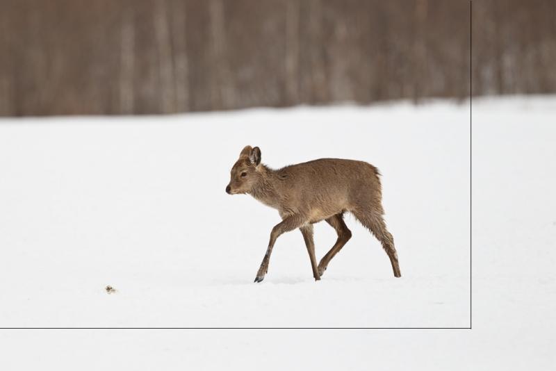 deer-orig-_y9c8523-akan-crane-center-hokkaido-japan