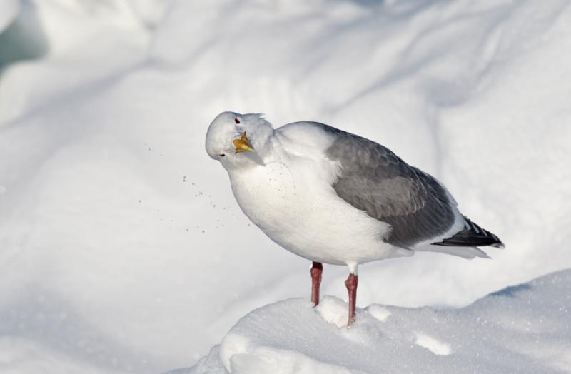 glaucous-wiinged-gull-shaking-head-_90z6621-rausu-hokkaido-japan