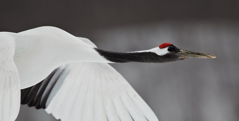 red-crowned-crane-flight-head-and-neck-portrait-_90z1179-akan-crane-center-hokkaido-japan