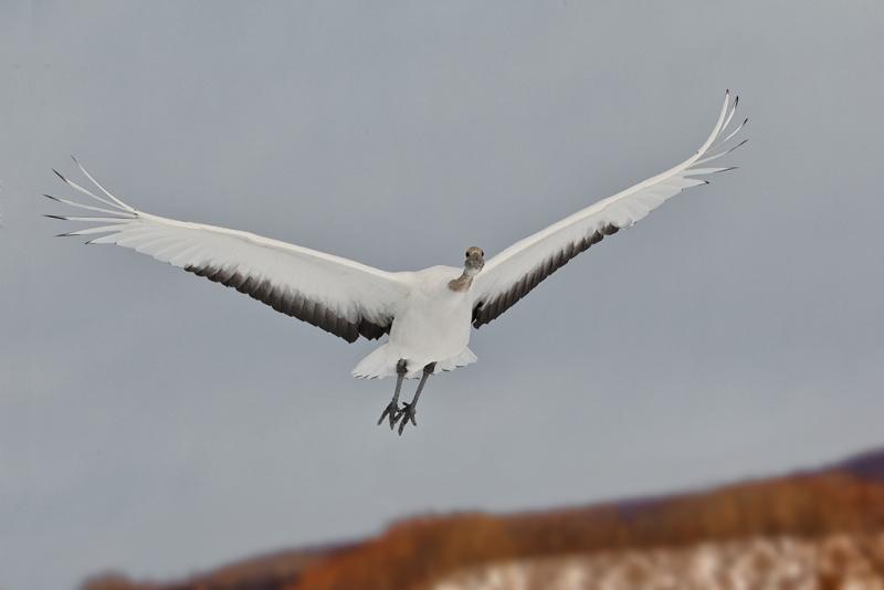 red-crowned-crane-juvenile-overhead-flight-_90z7551-akan-crane-center-hokkaido-japan