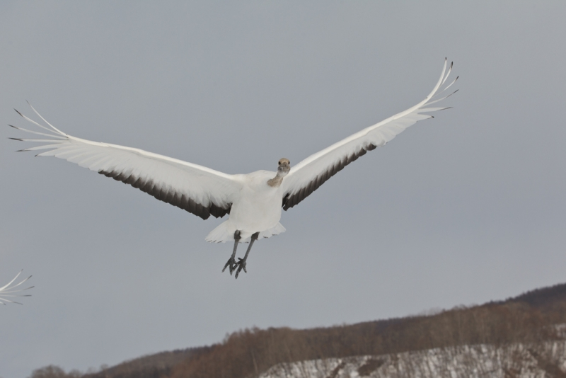 red-crowned-crane-orig-juvenile-overhead-flight-_90z7551-akan-crane-center-hokkaido-japan