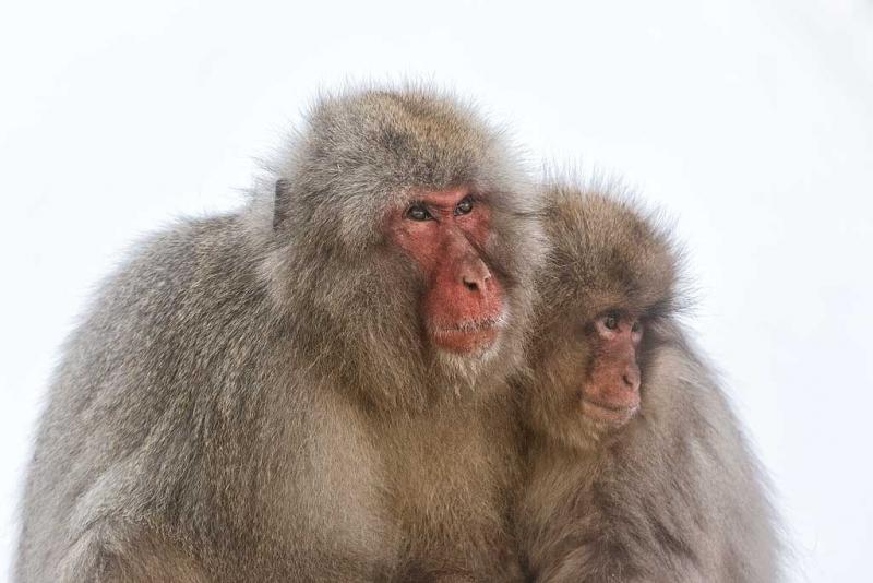 snow-monkey-in-fog-adult-and-young-_90z3786-jigokudani-yaenkoen-naganoprefecture-japan