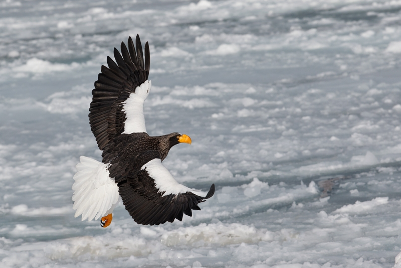 stellers-sea-eagle-fly-by-showing-dorsal-wing-two-birds-removed-_90z4789-rausu-hokkaido-japan