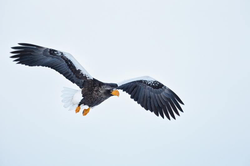 stellers-sea-eagle-in-flight-100-pct-nik-tonal-contrast-_y9c4810-rausu-hokkaido-japan