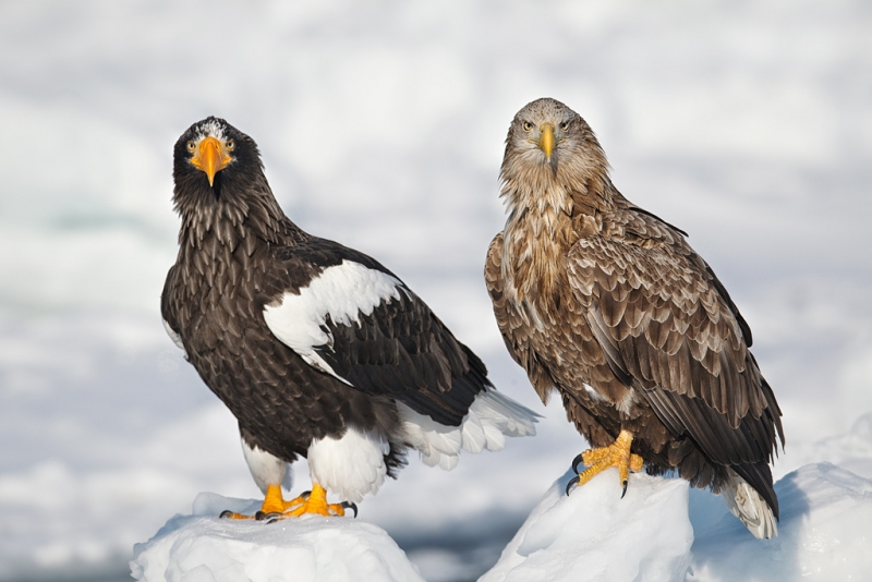 white-tailed-stellers-sea-eagles-_y9c6753-rausu-hokkaido-japan