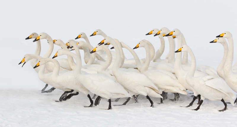 whooper-swan-flock-stampeding-after-tossed-bread-_90z7831-lake-kussharo-hokkaido-japan