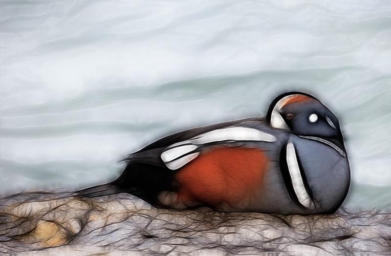 harlequin-duck-sleeping-fract-bkgr-leveled-lightened-with-viveza-_09u9454-barnegat-jetty-nj
