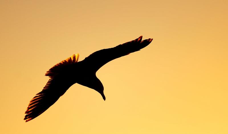herring-gull-sunrise-_q8r4269-barnegat-jetty-nj