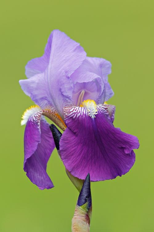 iris-_a1c2063-presby-gardens-upper-montclair-nj