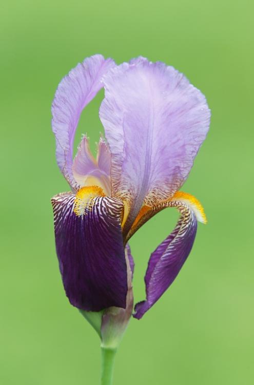 iris-_a1c2258-presby-gardens-upper-montclair-nj