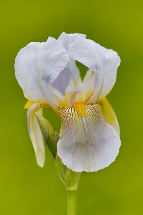 iris-flower-_a1c2091-presby-gardens-upper-montclair-nj