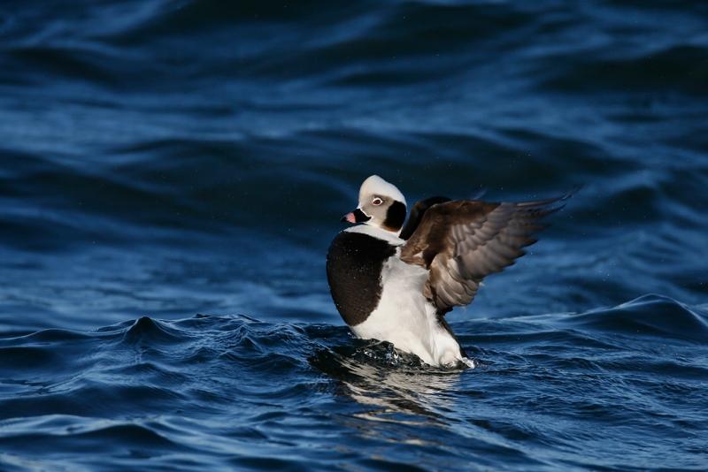 long-tailed-duck-drake-flapping-_q8r0610-barnegat-jetty-nj