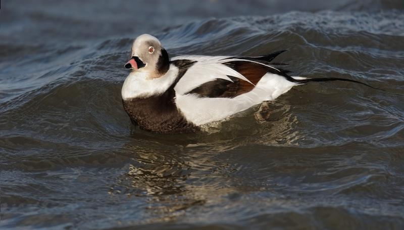 long-tailed-duck-drake-swimming-final-_09u0615-barnegat-jetty-nj