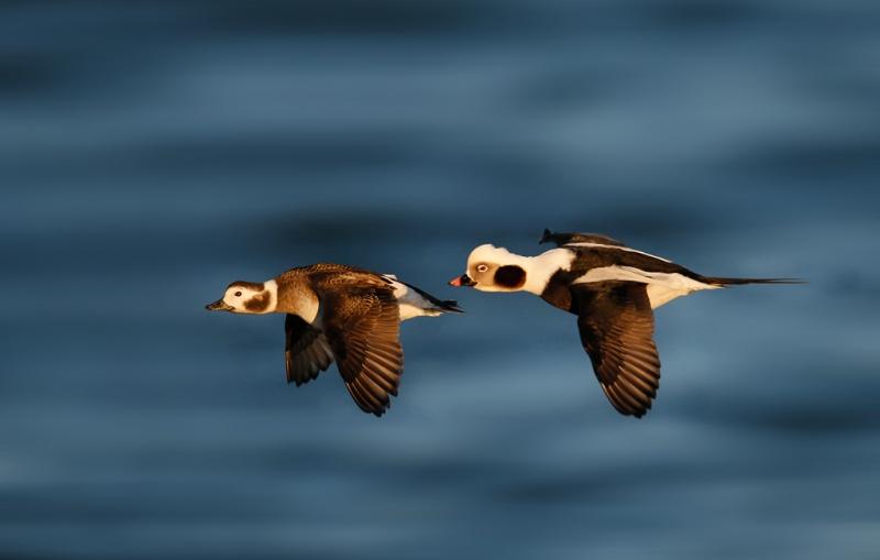 long-tailed-duck-pair-in-flight-bkgr-repair-_q8r0772-barnegat-jetty-nj