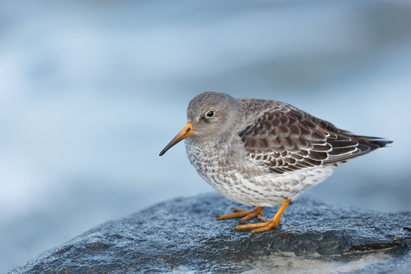puple-sandpiper-first-winter-plumage-_09u0445-barnegat-jetty-nj