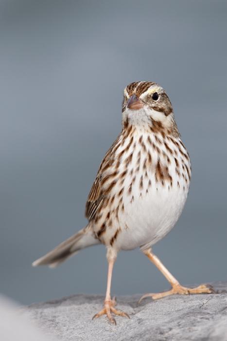 savannah-sparrow-ipswich-race-_09u9449-barnegat-jetty-nj