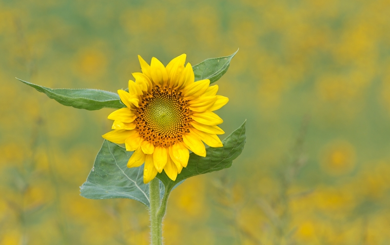 sunflower-at-f-32_a1c7073-newton-nj