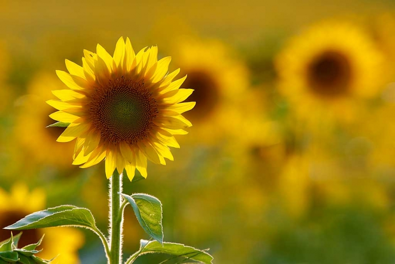 sunflower-backlit-specular-highlights-removed-_a1c6677-newton-nj