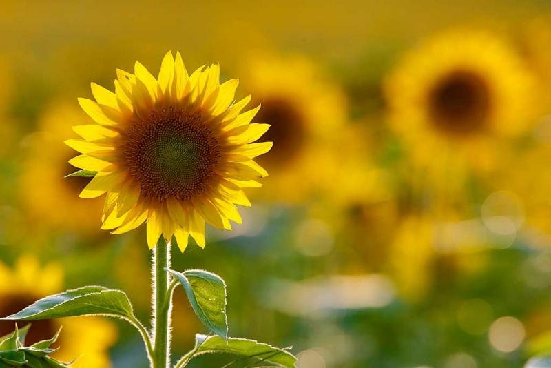 sunflower-orig-with-leaf-on-edge-backlit-_a1c6677-newton-nj