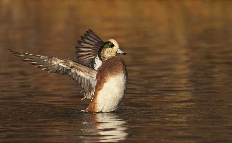 american-wigeon-drake-flapping-_w3c9651-socorro-nm