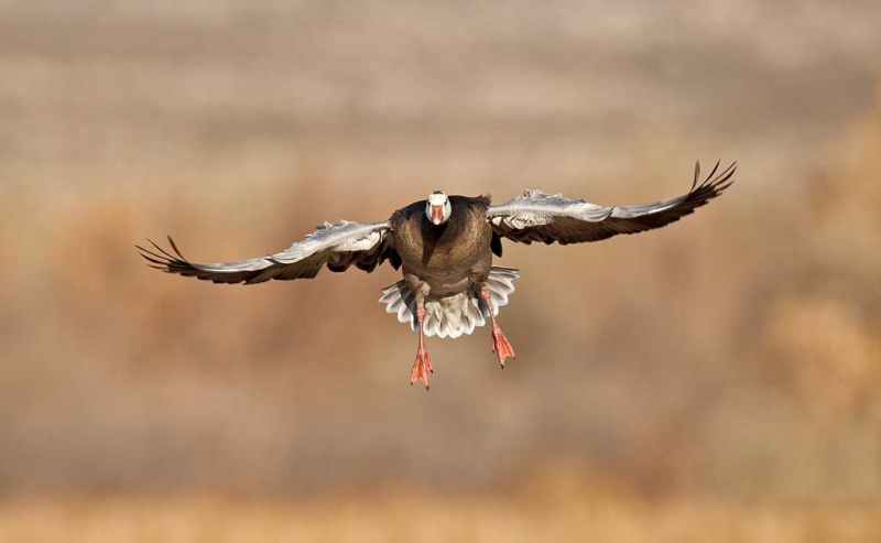 blue-goose-adult-in-flight_y9c7814-bosque-del-apache-nwr-san-antonio-nm