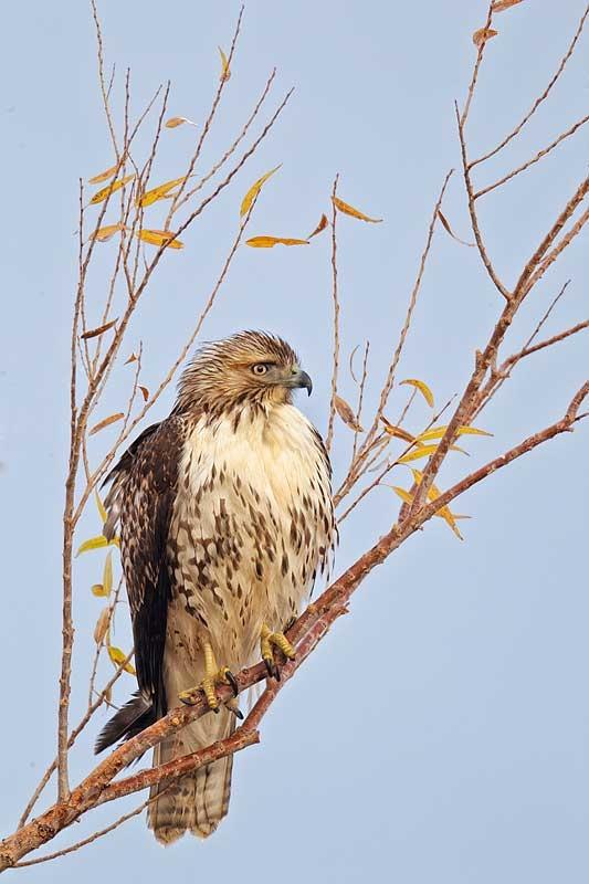 red-tailed-hawk-immature-cefp4-wh-neutr-tc-_y9c0176-bosque-del-apache-nwr-san-antonio-nm_0