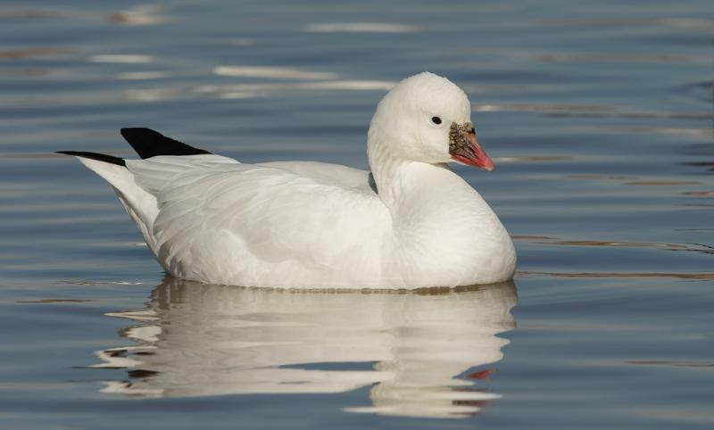 rosss-goose-adult-_09u3906-bosque-del-apache-nwr-san-antonio-nm