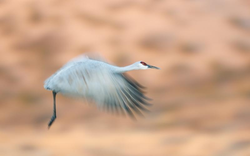sandhill-crane-1-60-sec-blur-_09u2917-bosque-del-apache-nwr-san-antonio-nm