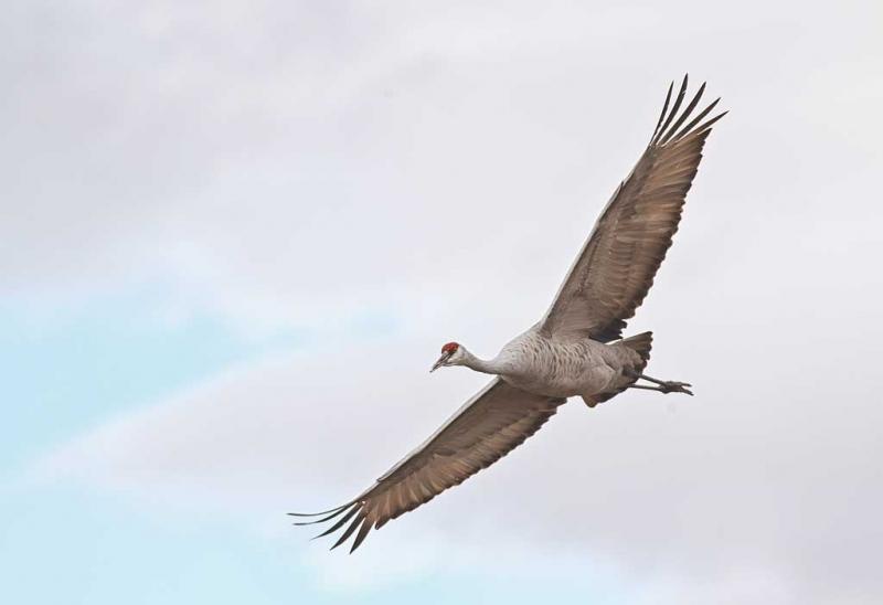 sandhill-crane-flight-_w3c0069-bosque-del-apache-nwr-san-antonio-nm