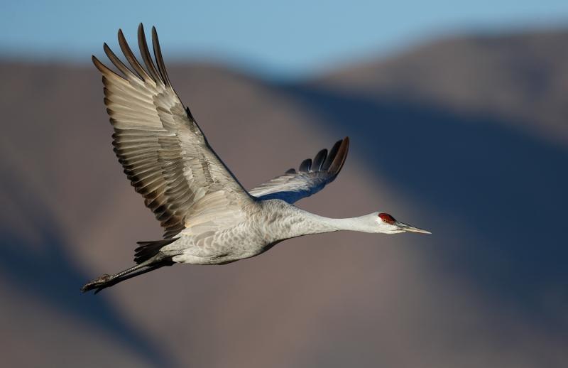 sandhill-crane-flight-dramatic-light-against-mountain-_09u2175-bosque-del-apache-nwr-san-antonio-nm