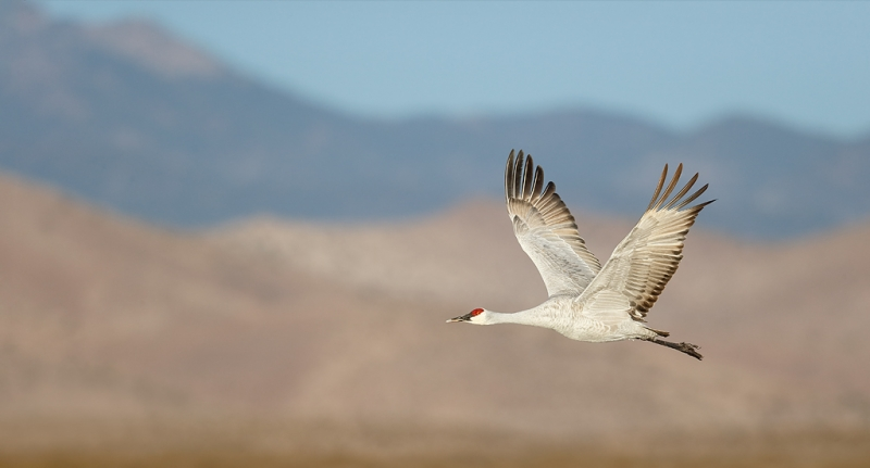 sandhill-crane-flight-pano-w-chupadera-mtns-_09u6945-bosque-del-apache-nwr-san-antonio-nm