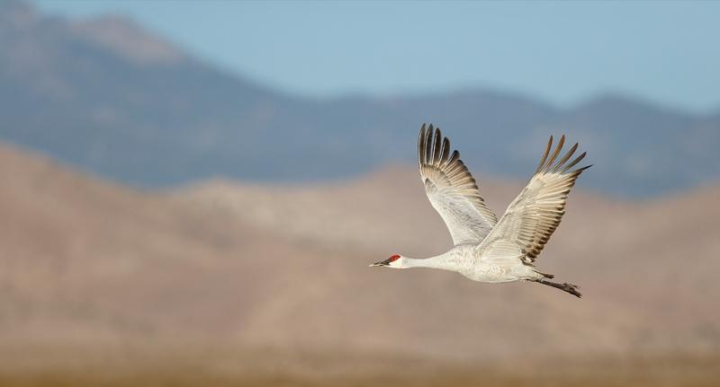 sandhill-crane-flight-pano-w-chupadera-mtns-_09u6945-bosque-del-apache-nwr-san-antonio-nm_0