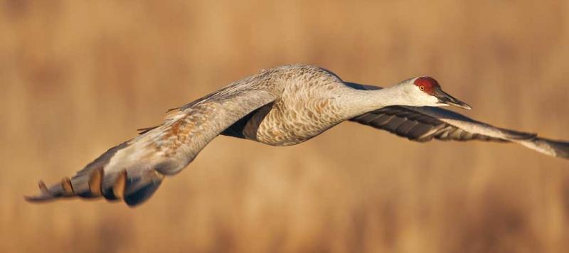 sandhill-crane-flight-unusual-crop-nik-white-enhancer-_y9c0224-bosque-del-apache-nwr-san-antonio-nm
