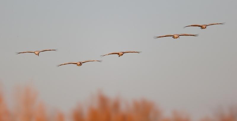 sandhill-crane-flying-group-of-5-_09u6056-bosque-del-apache-nwr-san-antonio-nm