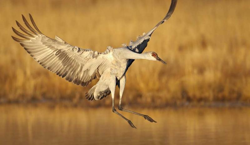 sandhill-crane-landing-feet-out-_y9c0284-bosque-del-apache-nwr-san-antonio-nm