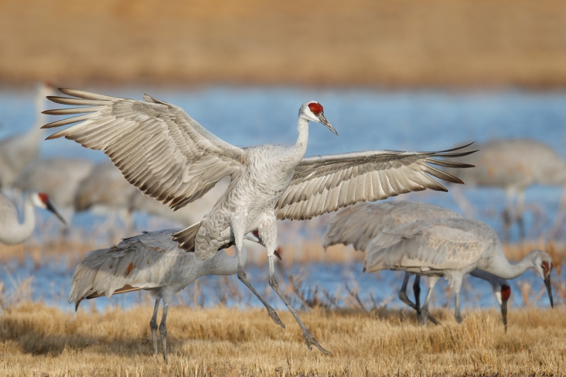 sandhill-crane-landing-sharper-optimized-_y9c8704-bosque-del-apache-nwr-san-antonio-nm