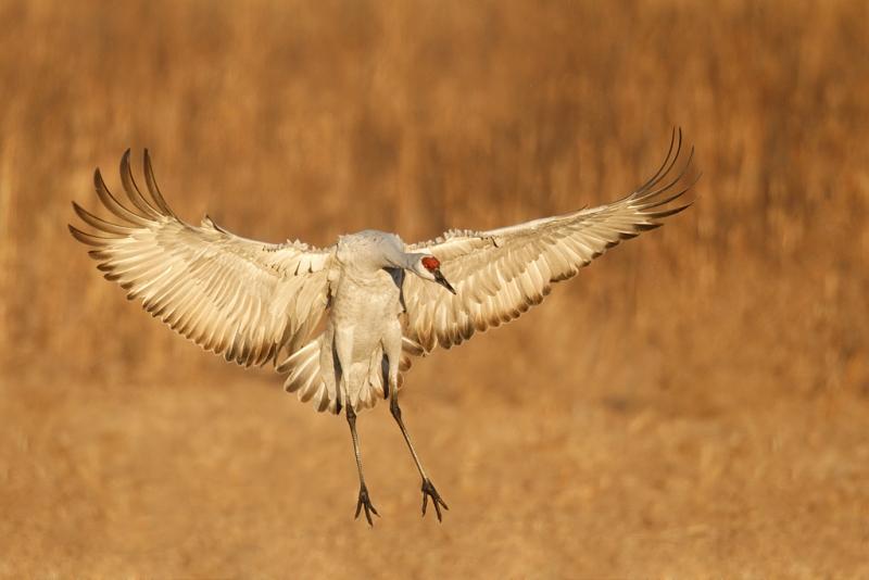 sandhill-crane-landing-toe-repair-b-_y9c0605-bosque-del-apache-nwr-san-antonio-nm